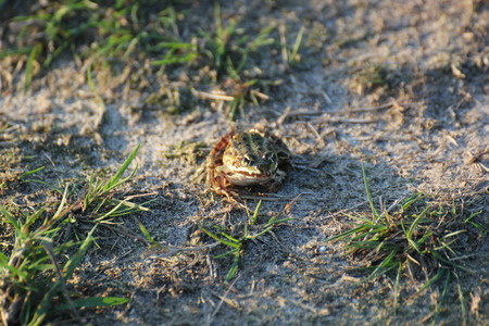 hassock: Green frog (Pelophylax esculentus) sitting on the ground in evening sunlight.