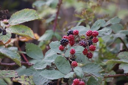 rubus: Ripe and red unripe blackberries (Rubus).