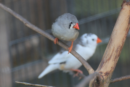 image created 21st century: Zebra finches (Taeniopygia guttata) in an aviary. Stock Photo