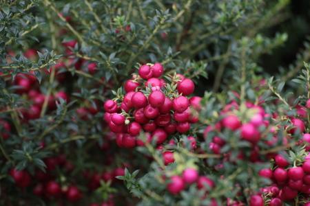 Pink berries of the ornamental shrub Gaultheria Mucronata.