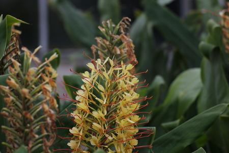 Inflorescence of a garland flower (genus Hedychium).