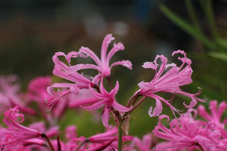 guernsey: Pink blossoms of the Guernsey lily (Nerina bowdenii).