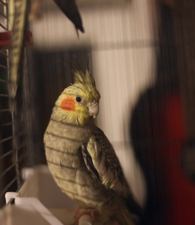 attentively: Cockatiel (Nymphicus hollandicus) in bird cage watching attentively.
