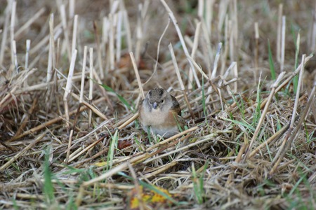 image created 21st century: Female brambling (Fringilla montifringilla) between grass and straws. Stock Photo