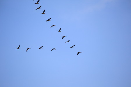 Flock of graylag geese (Anser anser) migrating to the south. photo