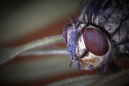 repellant: Macro of dead fly (housefly - Musca domestica) on coniferous twig.