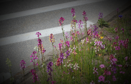 contrasts: A variety of colorful fabaceaelegume flowers besides the street. The image symbolizes contrasts between an urban setting and nature.