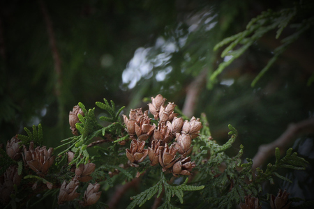 thuja occidentalis: Fruits and leaves of Thuja occidentalis.
