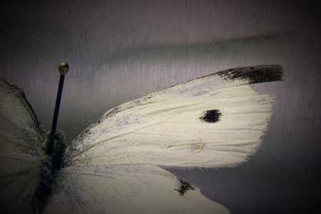 taxonomy: Macro shot of the small cabbage white (Pieris rapae). The insect is from a private zoological collection.