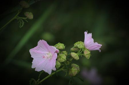 alcea: Flores de malva malva (Malva alcea).