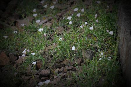 arvensis: Field bindweed (Convolvulus arvensis) growing on gravel rocks.