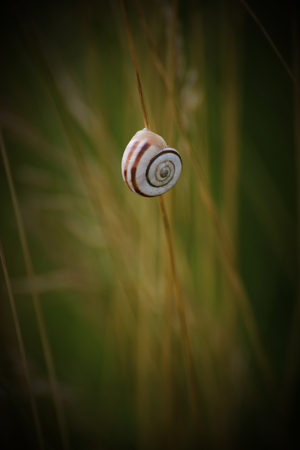 moving images: Chilostoma snail sitting on a straw.