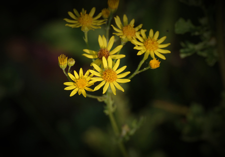 senecio: Blossoms of the ragwort (Senecio jacobaea).