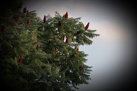 staghorn: Staghorn sumac (Rhus typhina) tree in a garden.