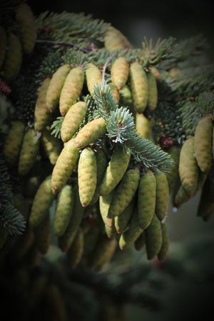 picea: Young cones of the white spruce (Picea glauca).