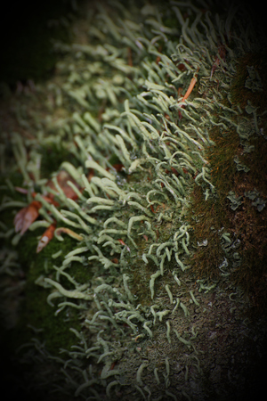 mutualism: Moss and lichen (Cup lichen - Cladonia) on decomposing wood.