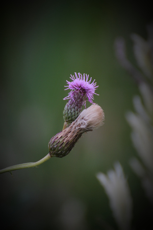pappus: Flower heads of the creeping thistle (Cirsium arvense), blossoming and with pappus.