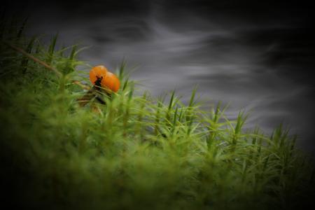 chicout�: Simple chicout� (Rubus chamaemorus) en Su�de entre la mousse avec bokeh d'eau. La chicout� est commun en Europe du Nord et un symbole pour la Su�de.