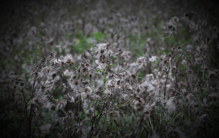 pappus: Gray and green thistle field with pappus hairs. Stock Photo