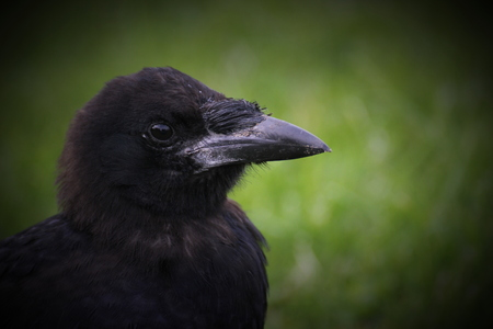 carrion: Carrion crow (Corvus corone) close-up.