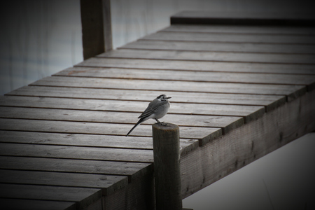 white wagtail: White wagtail (Motacilla alba) on a dock.