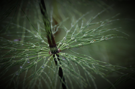 equisetum: Leaf node of a wood horsetail (Equisetum sylvaticum) in Sweden. Stock Photo