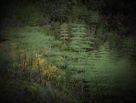 equisetum: Population of wood horsetails (Equisetum sylvaticum) in Sweden. Stock Photo