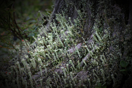 Macro of different cup lichens (Cladonia species) in dead wood. photo