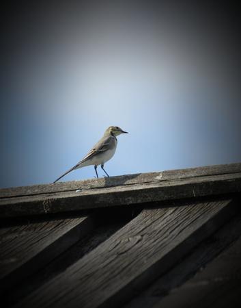motacilla: Lavandera blanca (Motacilla alba) en el techo de una casa de madera. Foto de archivo