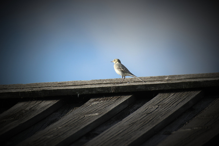 white wagtail: White wagtail (Motacilla alba) on the roof of a wooden house. Stock Photo