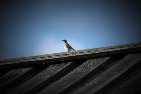 White wagtail (Motacilla alba) on the roof of a wooden house. photo