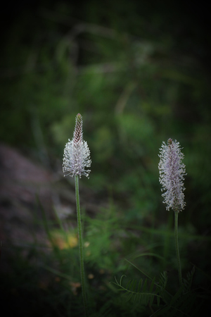 plantaginaceae: Blossoming hoary plantain (Plantago media).