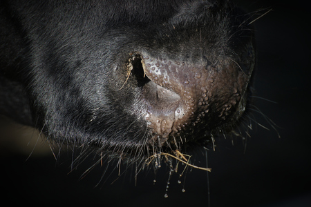 seep: Wet snout of a cow.