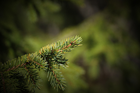 image created 21st century: Twig of a spruce (Picea) with green background. Stock Photo