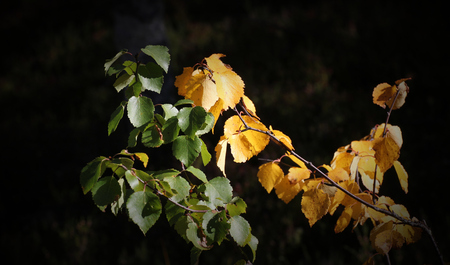 image created 21st century: Birche (Betula) leaves in late summer, some are still green and some are already yellow.