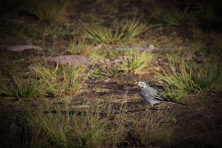 white wagtail: White wagtail (Motacilla alba) on the ground between hassocks. Stock Photo