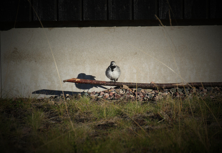 White wagtail (Motacilla alba) sitting on the ground in front of a house. photo