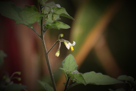 image created 21st century: Blossoms of the woolly nightshade (Solanum villosum).