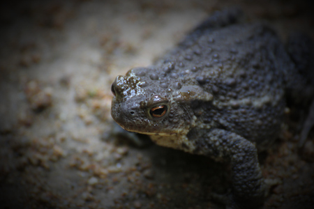 image created 21st century: A common toad on sandy ground.