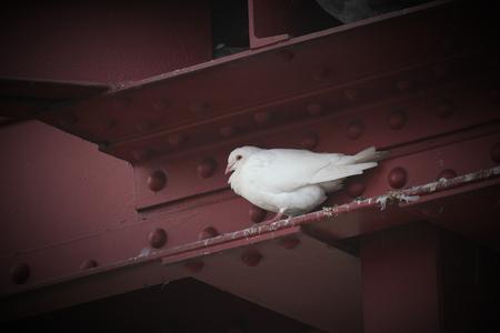 greifswald: White dove (genus Columba) in a gap in metal frame. Stock Photo