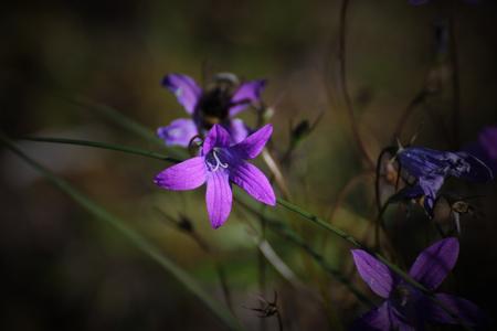 patula: Spreading bellflower (Campanula patula) blossoms. Stock Photo