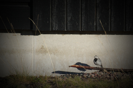 white wagtail: White wagtail (Motacilla alba) sitting on the ground in front of a house.