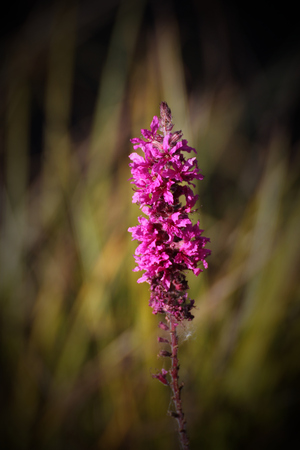 myrtales: Blossoms of purple loosestrife (Lythrum salicaria) with reed in background. Stock Photo