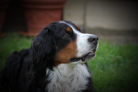 Bernese mountain dog sitting on grass and looking attentively. photo