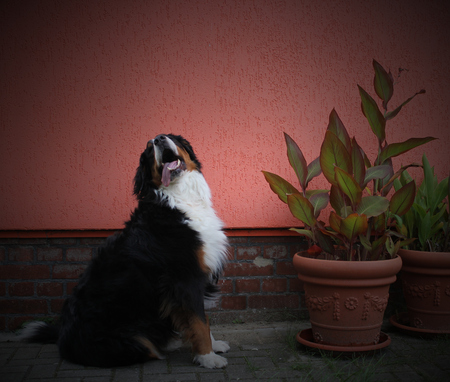 Bernese mountain dog besides potted plants and in front of an orange house wall. photo