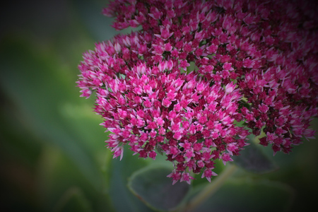 showy: Blossoms of the ornamental showy stonecrop (Hylotelephium spectabile syn. Sedum spectabile). Stock Photo
