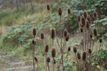 pointing herb: Wild teasel (Dipsacus fullonum syn. Dipsacus sylvestris) plant in autumn.