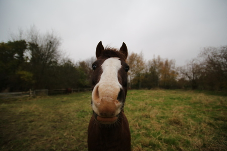 face centered: Frontal wide angle macro shot of a brown and white horse.