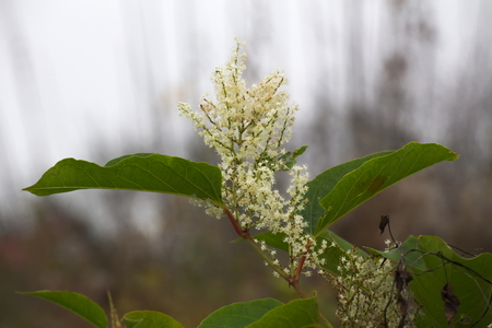 invasive plant: Blossoms of the Japanese Knotweed (Fallopia japonica), an invasive plant species in Europe.