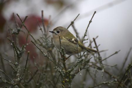 passerine: A Regolo (Regulus regulus) seduto su ramoscelli. � uno dei pi� piccoli passerine uccello.